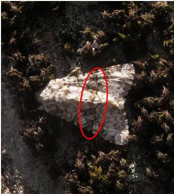 Hecatera bicolorata
