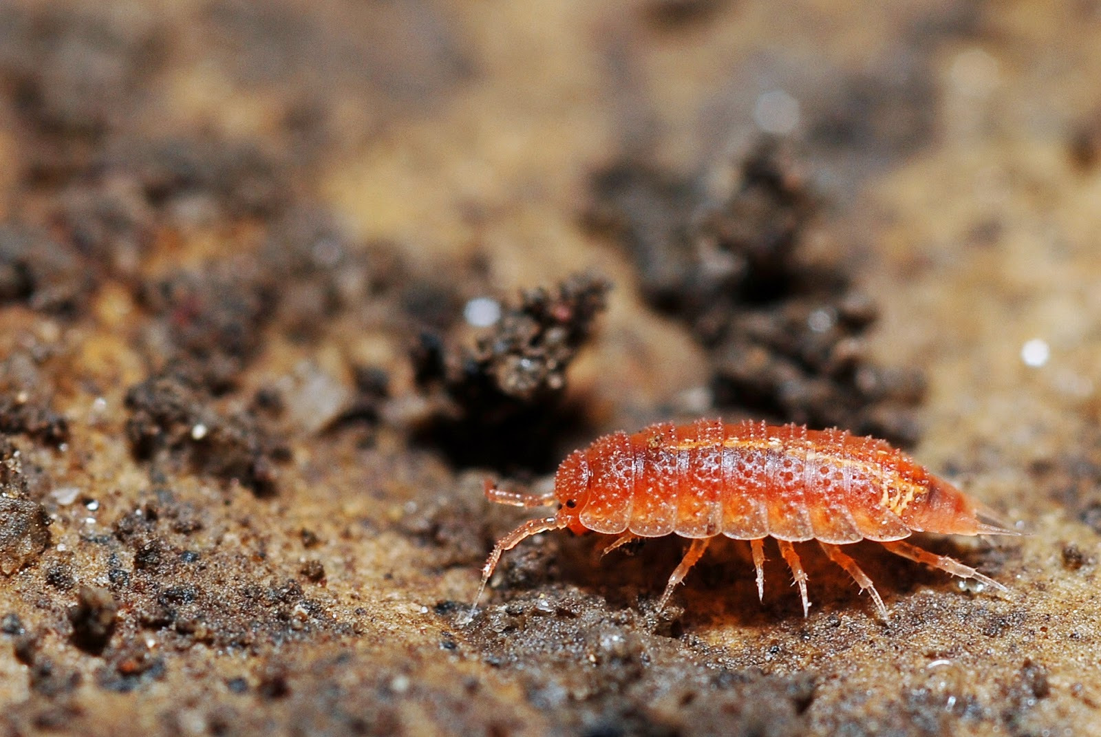 Woodlouse woodlice