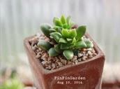 http://finfingarden.blogspot.com/2014/12/anacampseros-rufescens-cactus-cacti.html