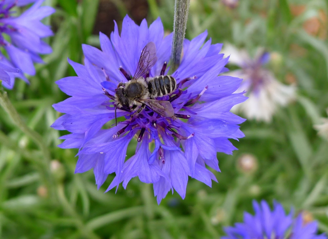 Honey Bee, pollinators, urban farming