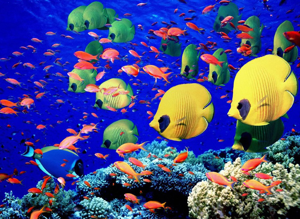 The paradise of the red sea the paradise of the red sea for Red sea fish