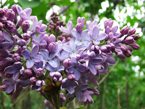 flowers the common knowledge about beautiful lilac flowers, Natural flower