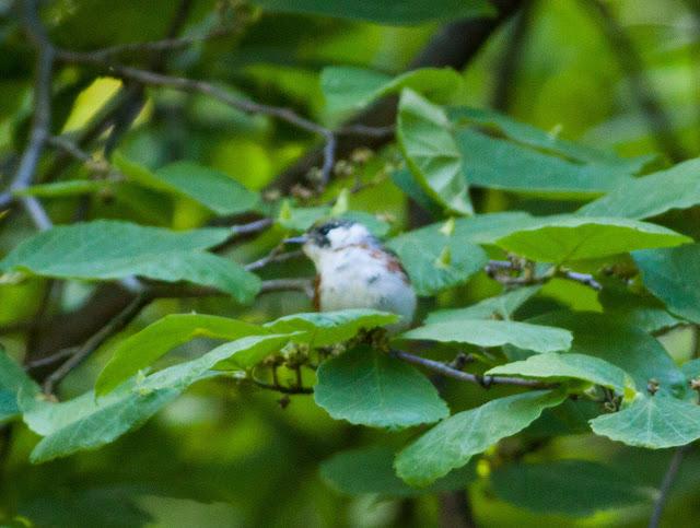 Chestnut-sided Warbler - Central Park, New York