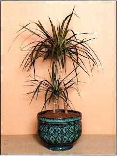 Драцена окаймленная (Dracaena marginata) — популярное комнатное растение