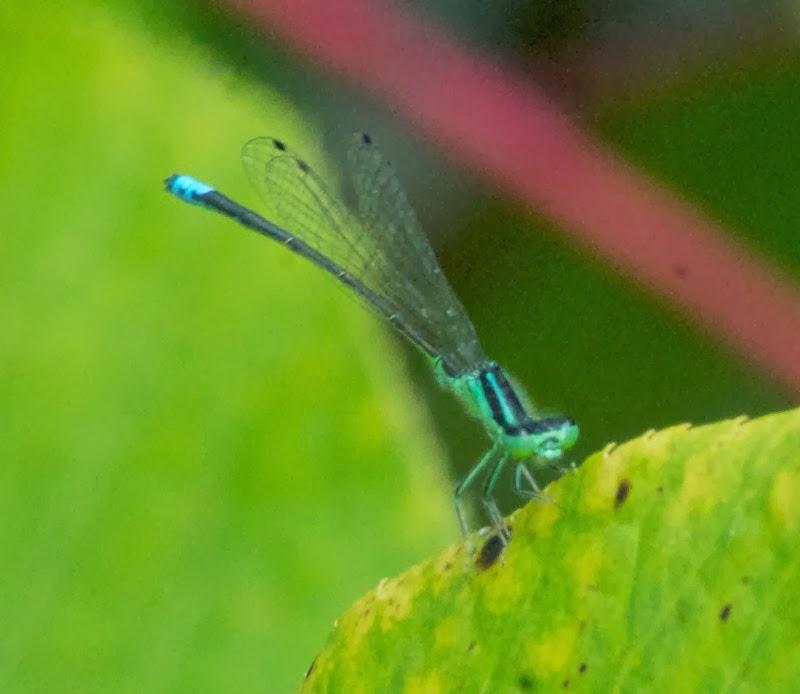 Eastern Forktail (Ischnura verticalis)