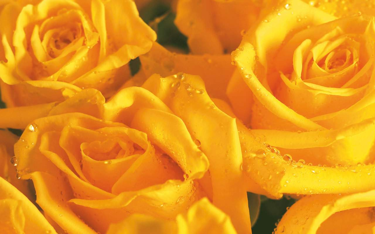 Black and White Wallpapers: Yellow Roses - Yellow Wallpaper