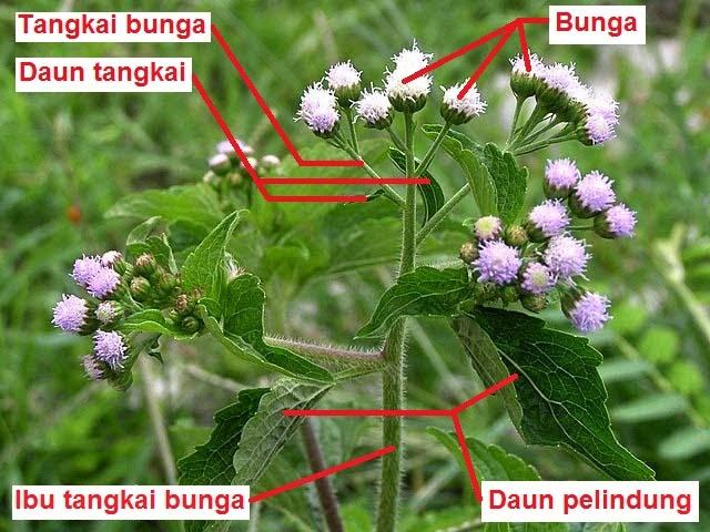 Munawi Inside Bunga Majemuk Anthotaxis Inflorescentia