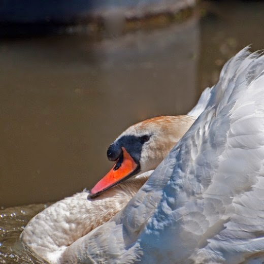 mute swan with head and neck retracted
