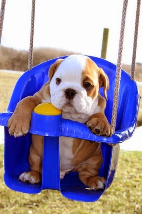Baby bulldog in a swing..