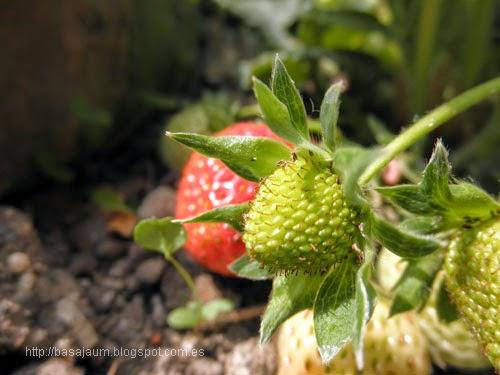 fresas maduras, rojas y verdes