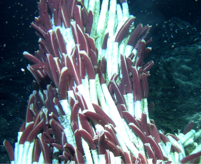 Deep sea tube worms
