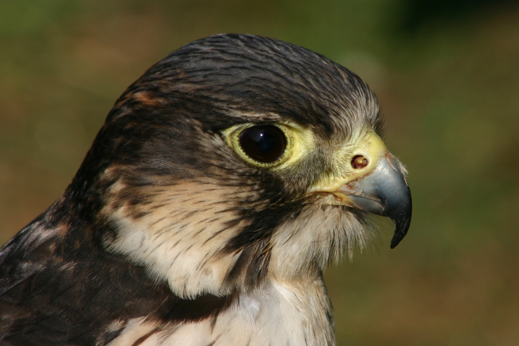 Peregrine Falcon Talons The Peregrine Falcon is Easily