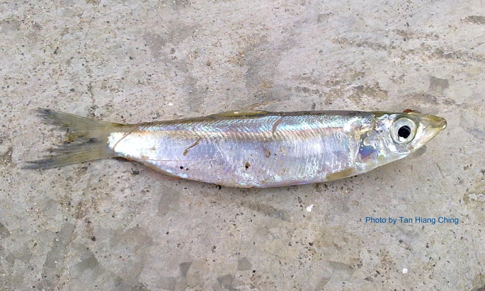 Cyprinids (Rasboras) - Talk About Fish