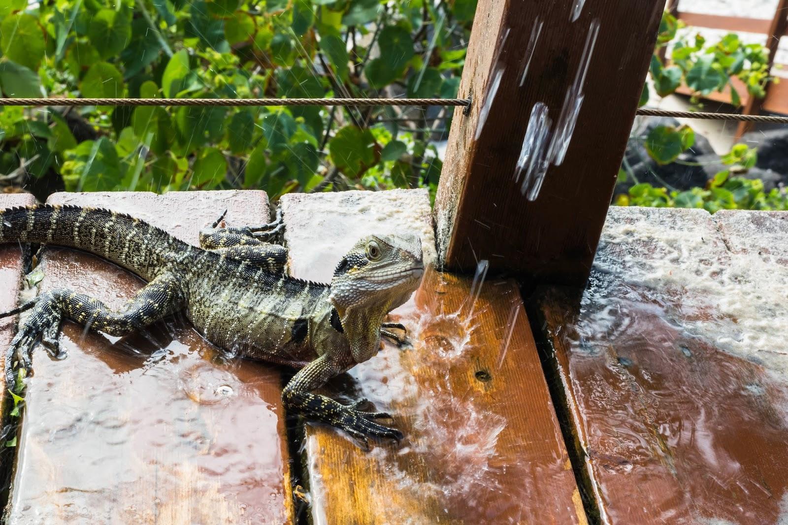 ящерицы австралийские водяные драконы
