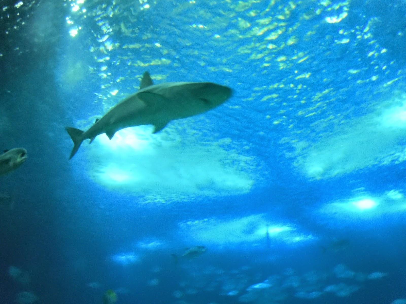Tubarão Oceanário de Lisboa