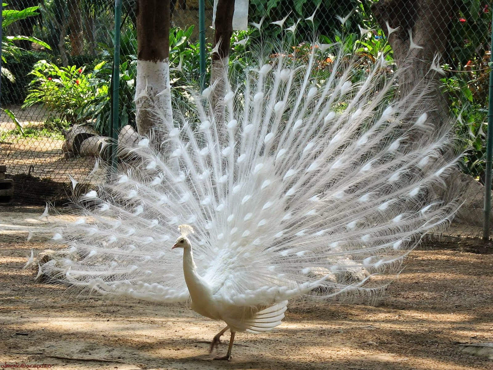 Gambar Burung Merak