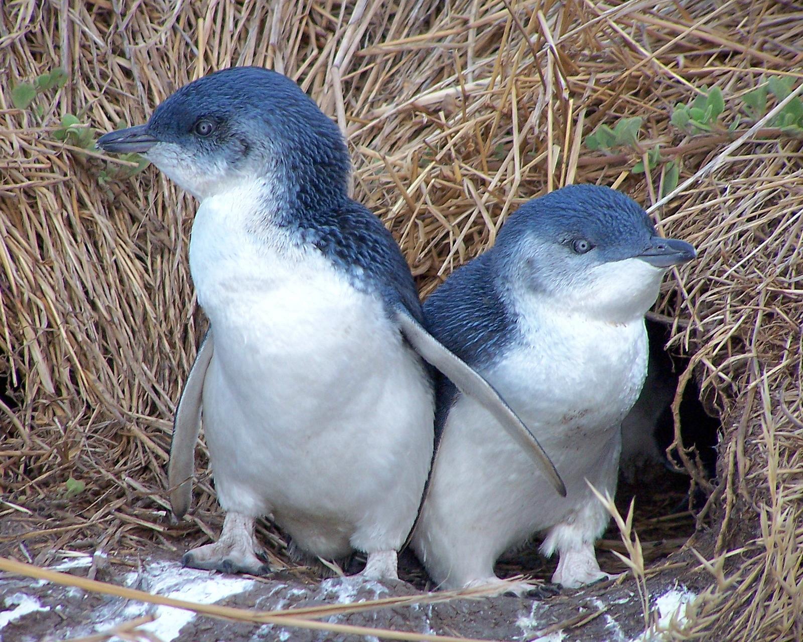 Les piafs et autres zozios en tout genre Little+blue+penguin2