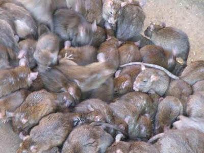 buat duit dengan tikus