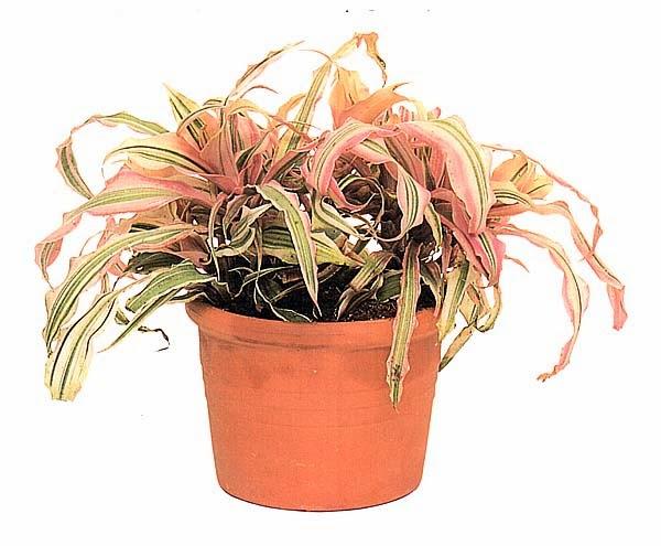 Криптантус бромелиевидный трехцветный