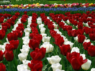 Red and White Tulips Garden HD Wallpaper