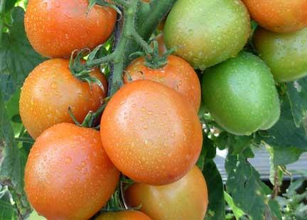 Panen Tomat Organik NASA | www.agrotaninusantara.com