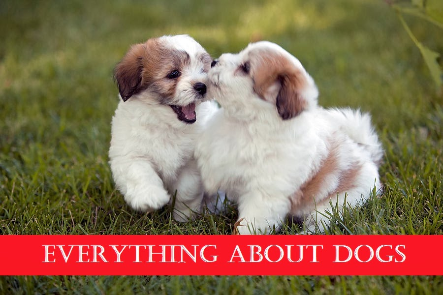 Small fluffy dog breeds dog training home dog types for Fluffy little dog breeds