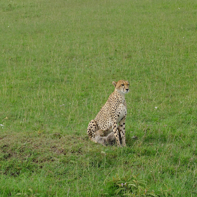 Cheetah and cubs at the Masai Mara