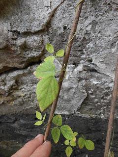 Yabumame, Amphicarpaea edgeworthii