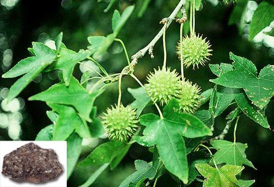 Liquidambar orientalis Mill. (Fam. Hamamelidaceae)