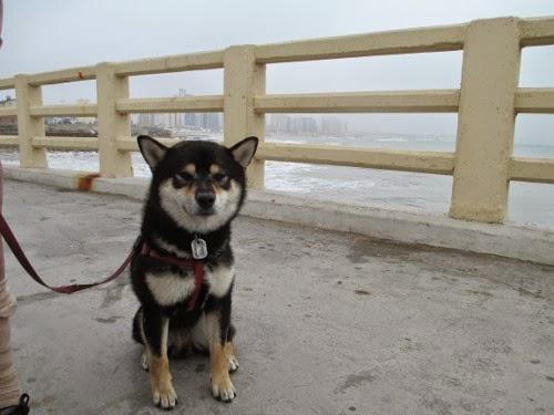 shiba inu Kuro relaxing on the fishermen's pier