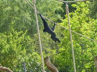 gibbon marwell zoo