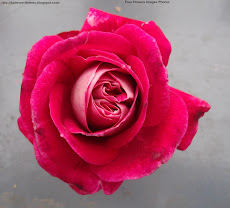 Free Newest Rose Images Rose Pictures