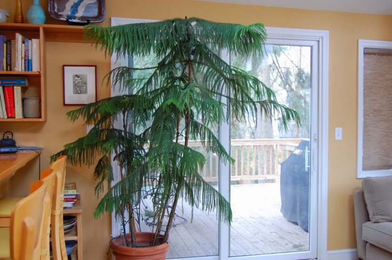 The Indoor Garden How To Care For A Norfolk Island Pine