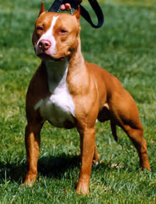 Such Good Dogs: Breed of the Month--American Pit Bull Terrier