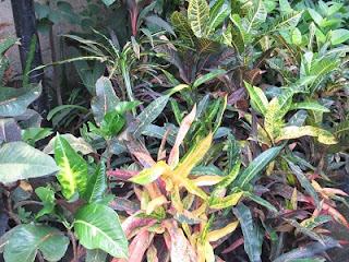 Puring (Codiaeum variegatum)