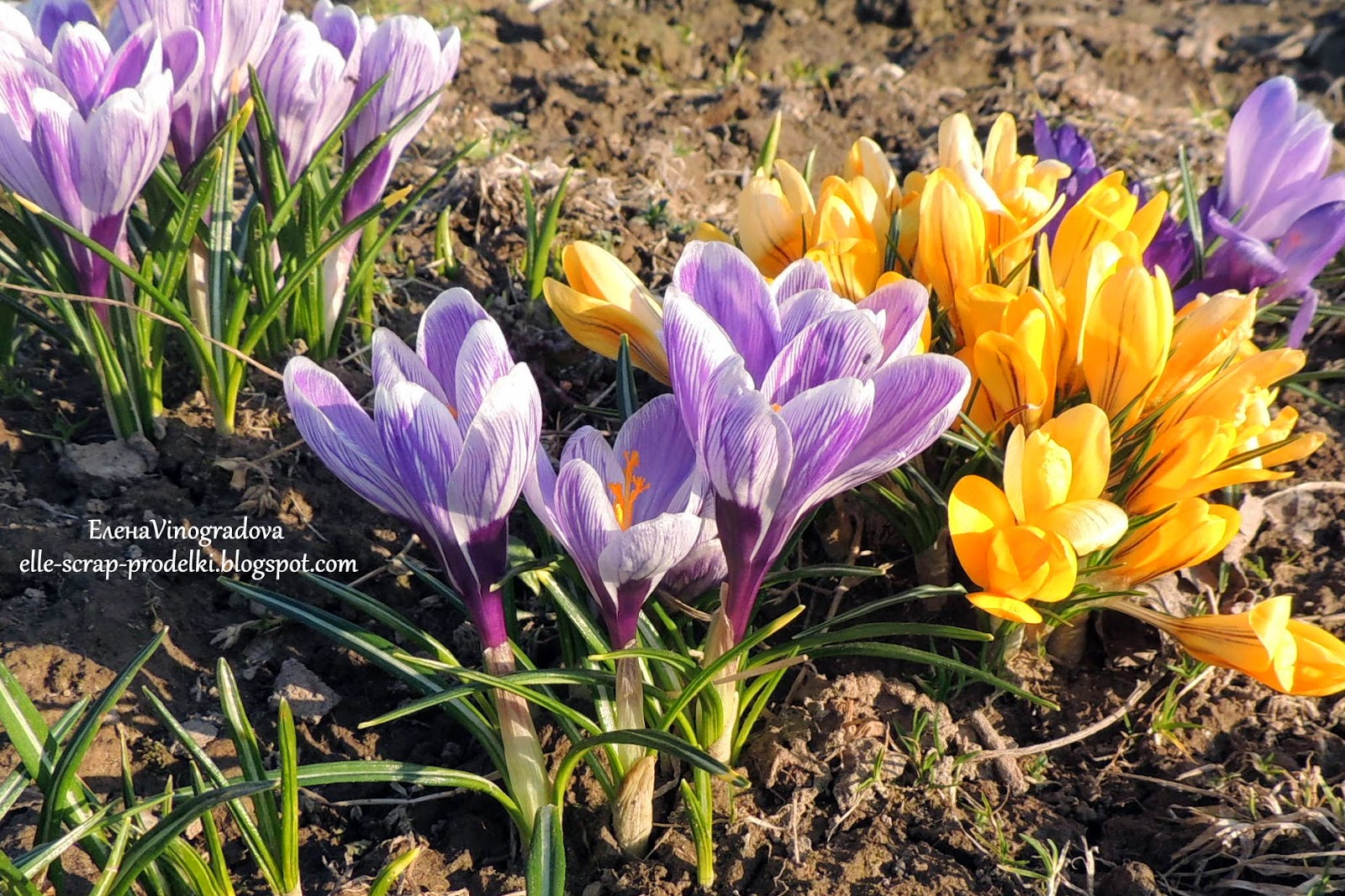 ЕленаVinogradova. Цветы нашего сада #3