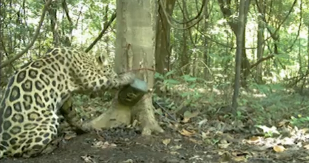 Jaguar's Carefree Selfie Session Caught On Amazon Forest Cam (VIDEO)