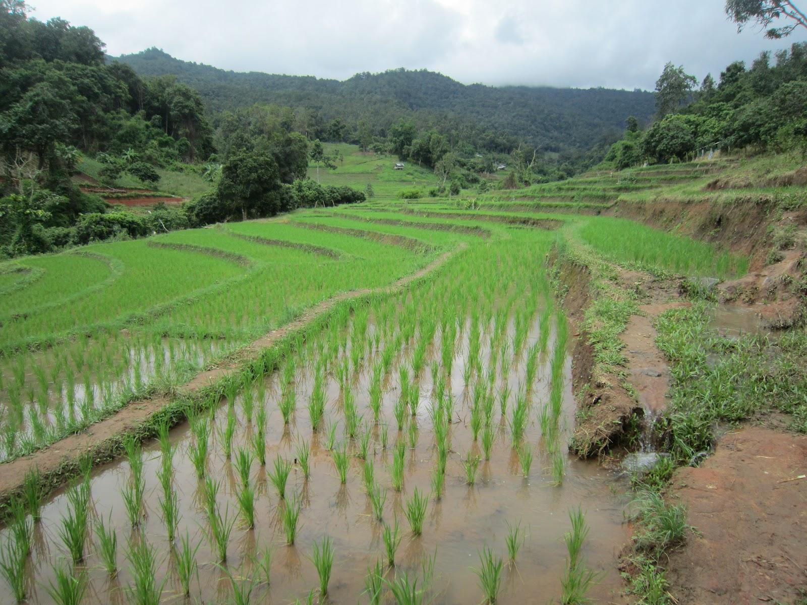 Cambogia e Tailandia 2012: Coltivazione del riso
