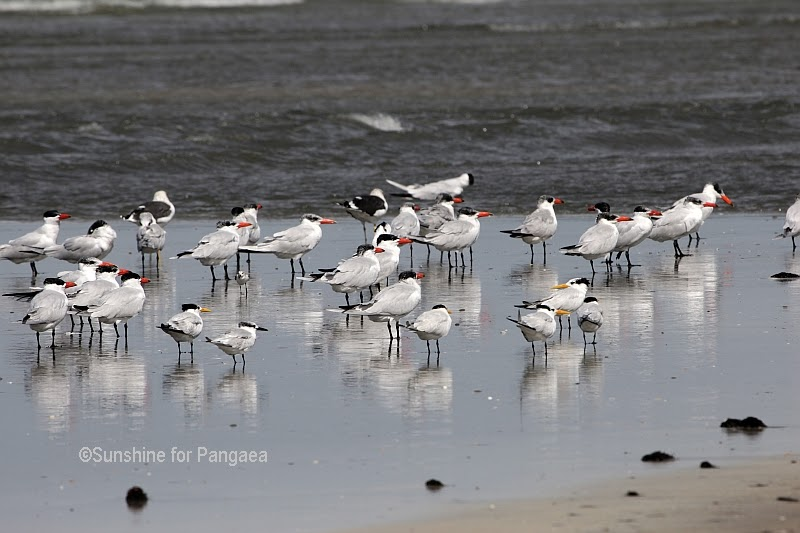 Caspian Terns in Gambia
