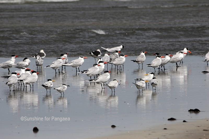 Caspian Terns in Gambia