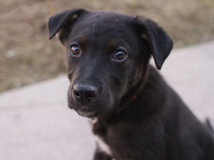 fiona black labrador mix puppy