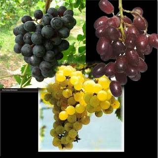 gambar_anggur_buah