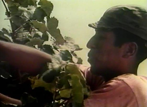 Silbador de Uvas