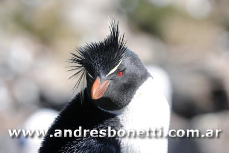 Pingüino de Penacho Amarillo - Rockhopper Penguin - Islas Malvinas - Falkland Islands - Andrés Bonetti