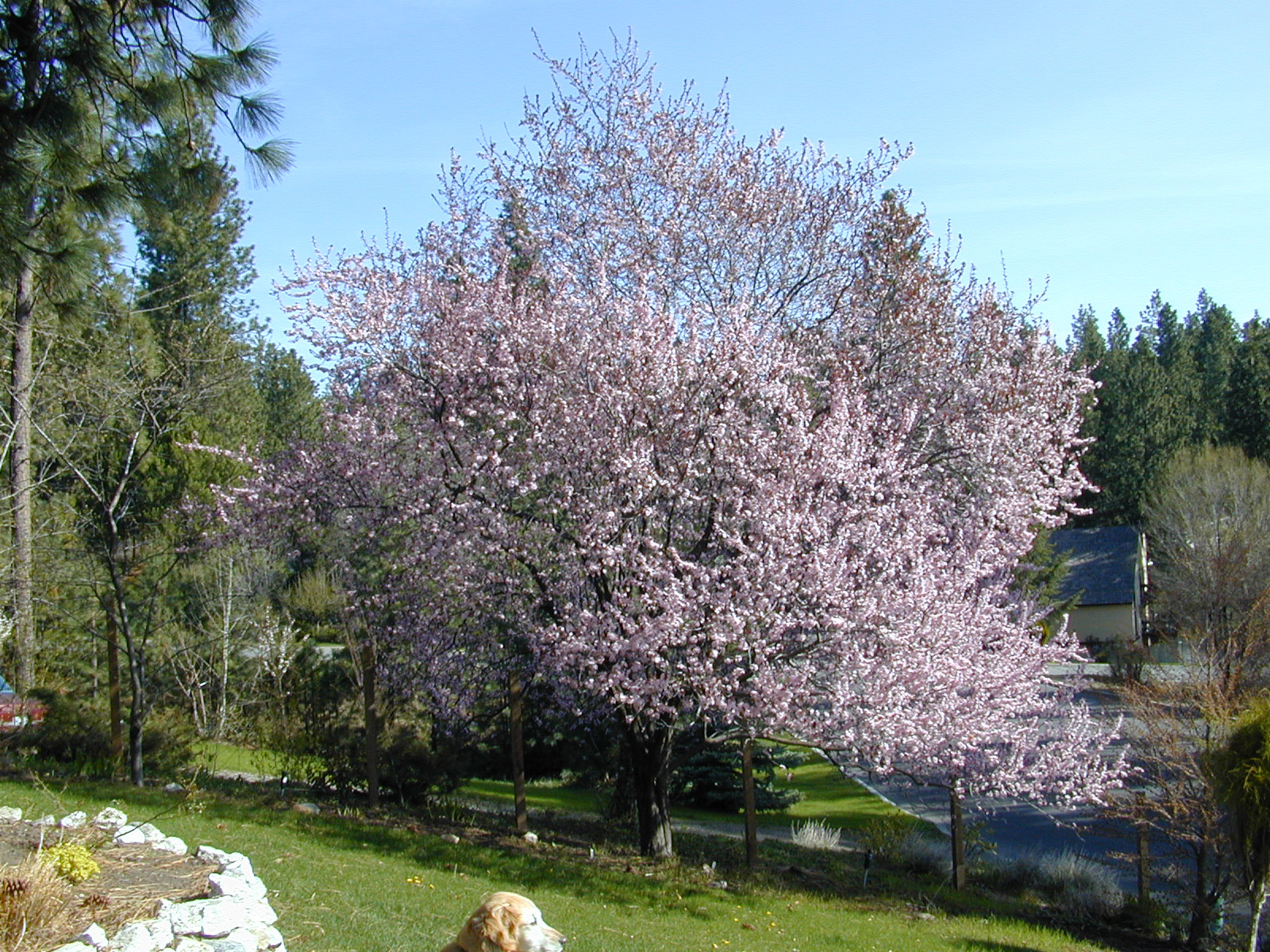 Trees of Santa Cruz County Prunus cerasifera Thundercloud Thunde