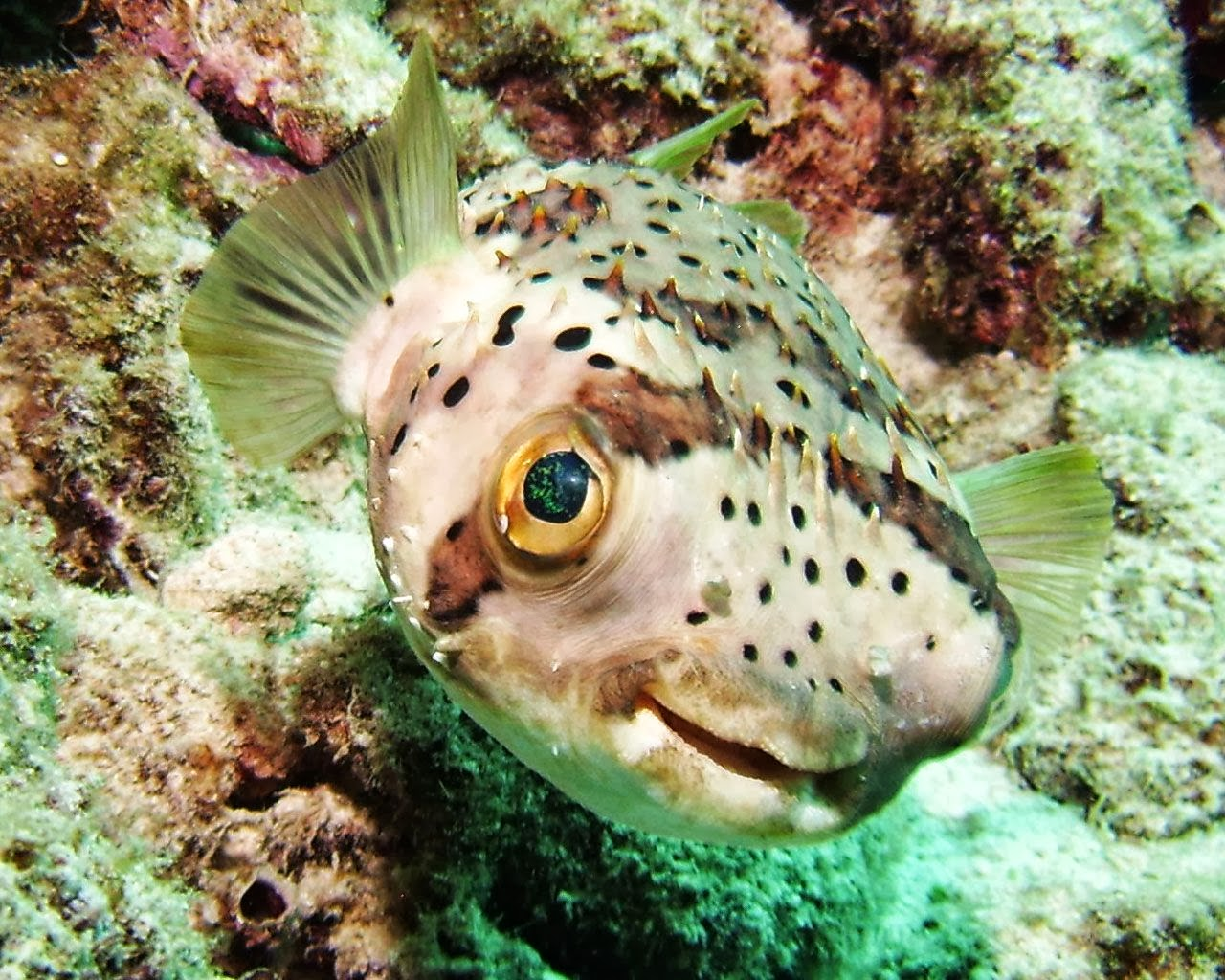 Porcupine puffer fish wallpapers top hd wallpapers for A puffer fish