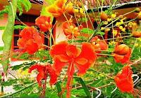 Bunga Merak