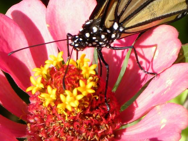 Butterflies St. Kitts