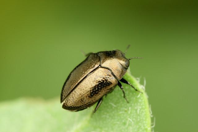 Trachys puncticollis ssp. rectilineatus