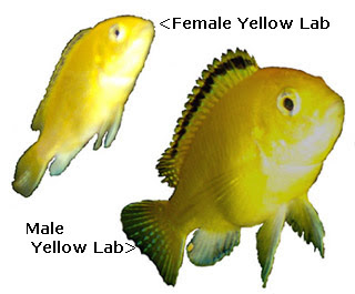 Lake Malawi African Cichlids, female and male Yellow Labidochromis, photo courtesy Eve